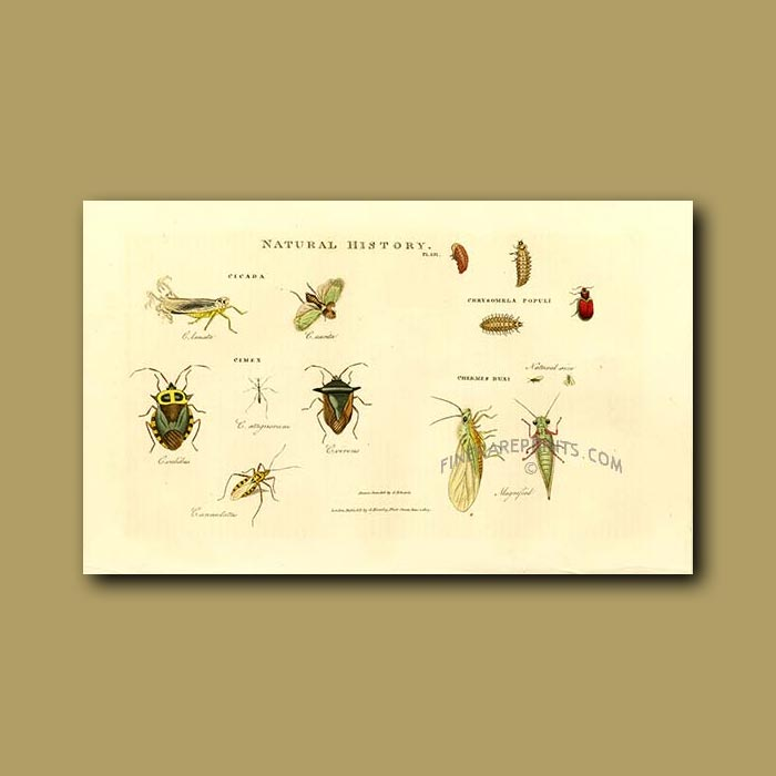 Antique print. Cicada, Cimex, Chermes Buxi
