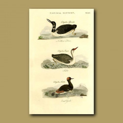 Northern Diver And Eared Grebe