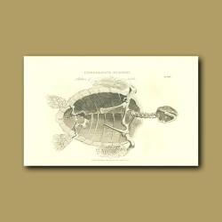 Skeleton of a turtle