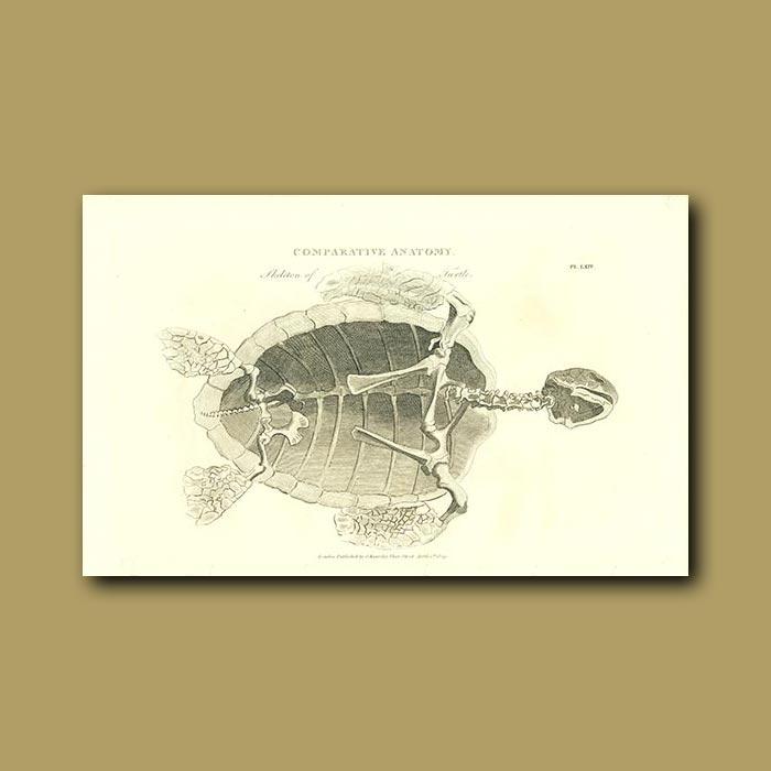 Antique print. Skeleton of a turtle
