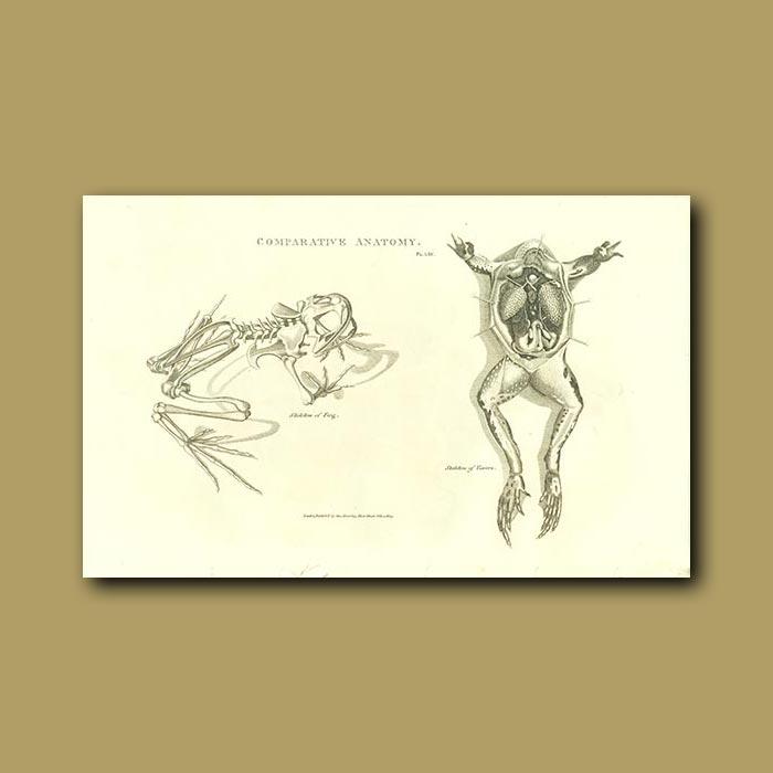 Antique print. Skeleton of a frog