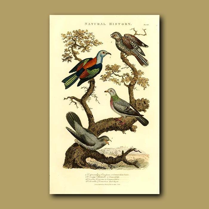 Antique print. Goat-sucker, Common Roller, Cuckoo and Rock Pigeon