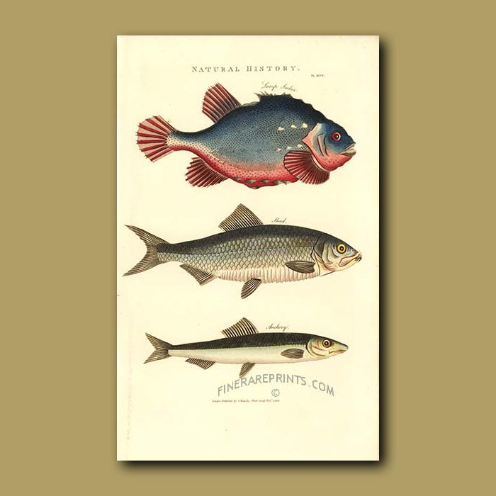 Antique print. Lump Sucker, Shad and Anchovy