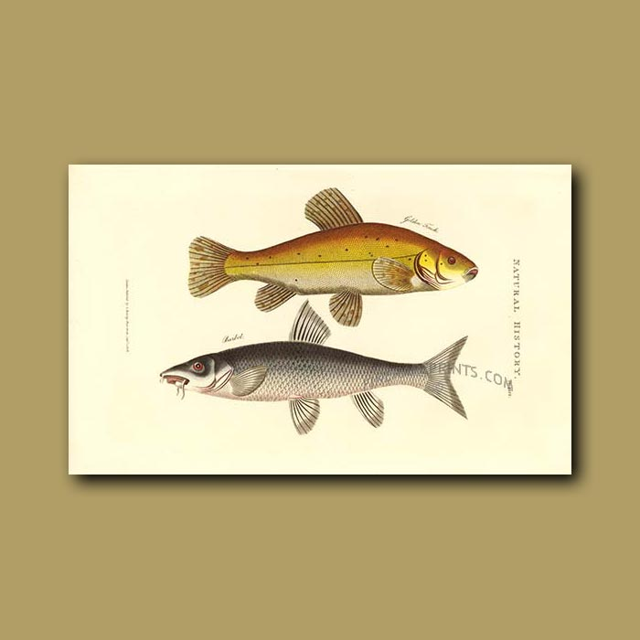 Antique print. Golden Trench and Barbel Fish
