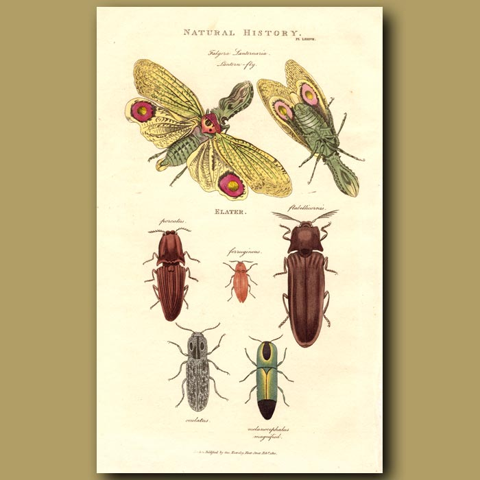 Antique print. Lantern Fly and Click Beetles
