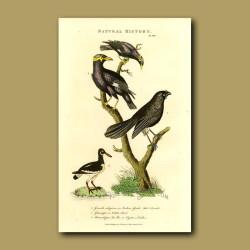 Indian Gracel, Wattle-Bird And Oyster-Catcher