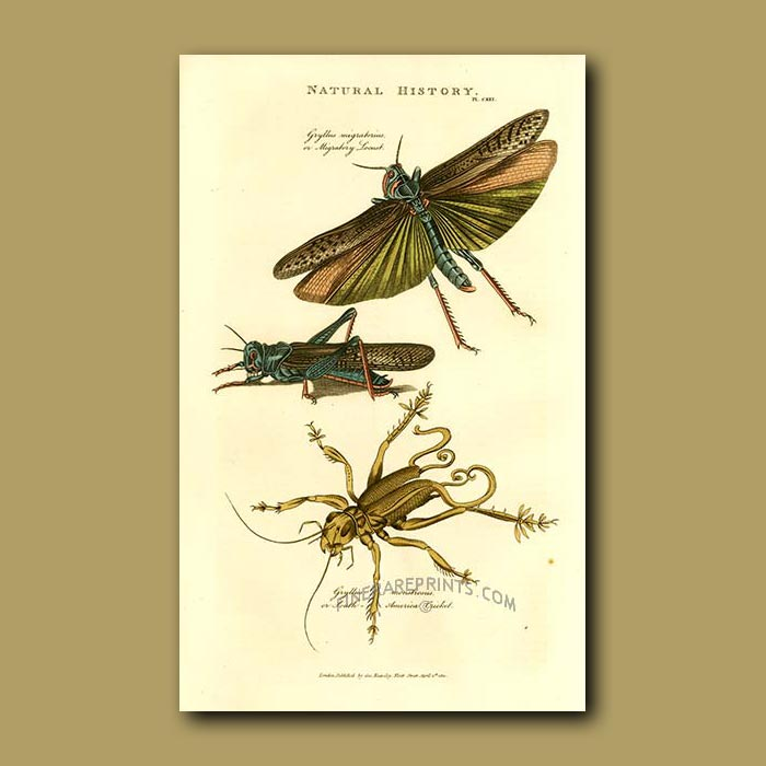 Antique print. Locust and South American Cricket