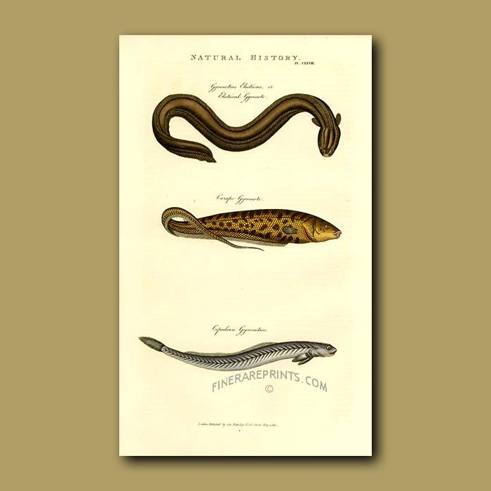 Antique print. Electric Eel and Other Eels