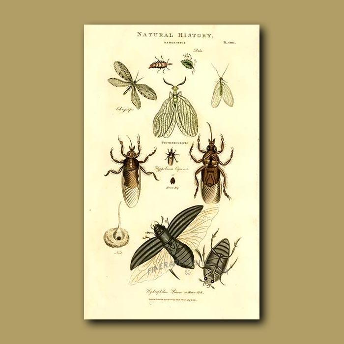 Antique print. Pectinicornis, Horsefly and Water Clock beetles