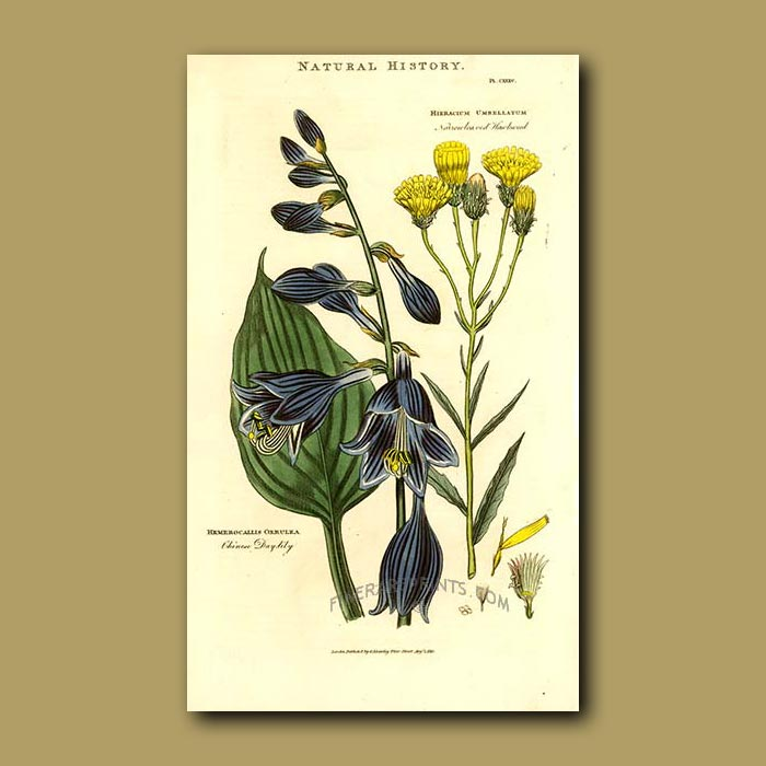 Antique print. Chinese Day-Lily and Narrow-leaved Hawkweed