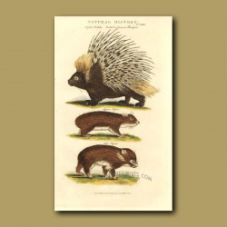 Crested or Common Porcupine, Syrian Hyrax and Cape Hyrax