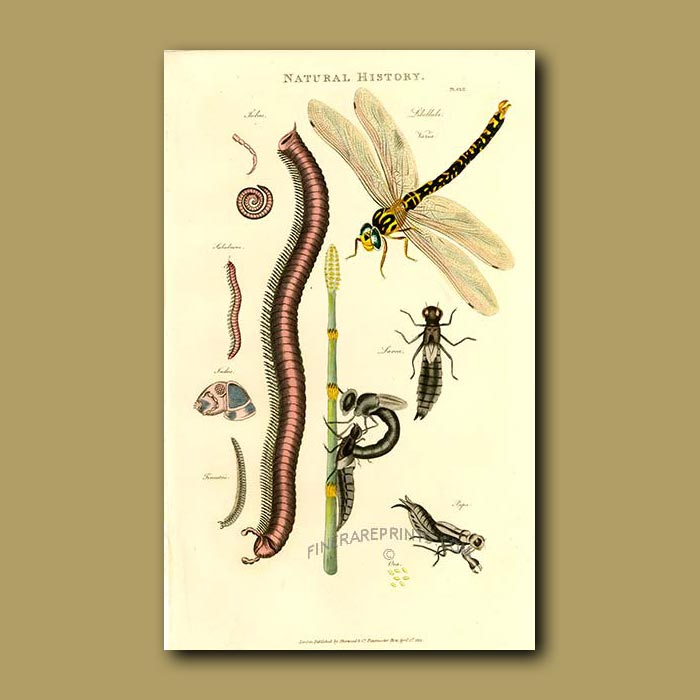 Antique print. Dragonfly and Millipede