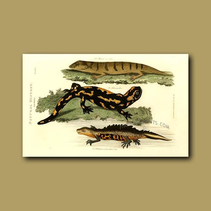 Antique print. Skink, Salamander and Water Newt