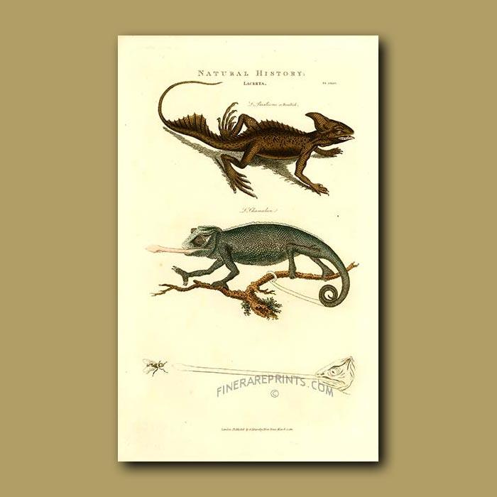 Antique print. Basilisk and Chameleon