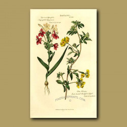 Leafy-spiked Lapeyrousia and Sweet Scented Bird's Foot Trefoil