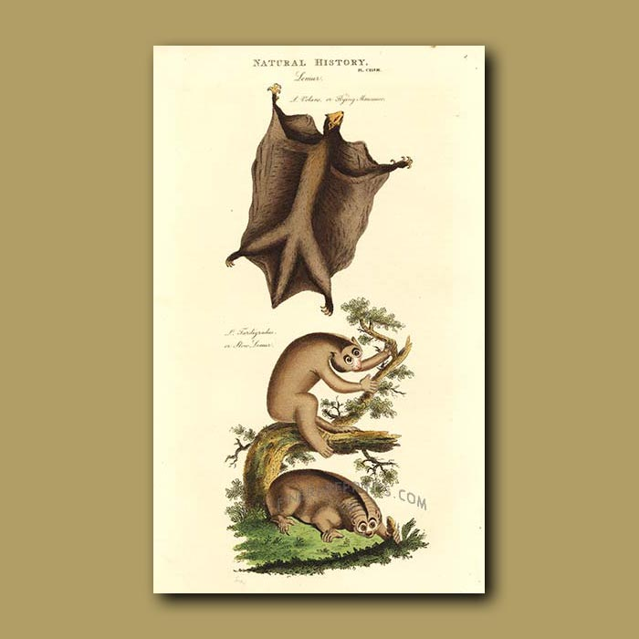 Antique print. Flying Lemur and Slow Lemur
