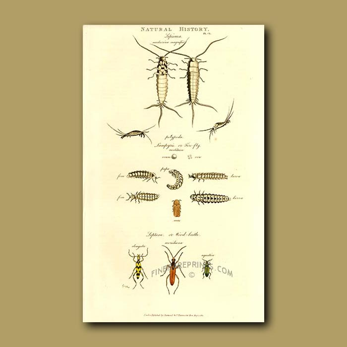Antique print. Fire Fly and Wood Beetle