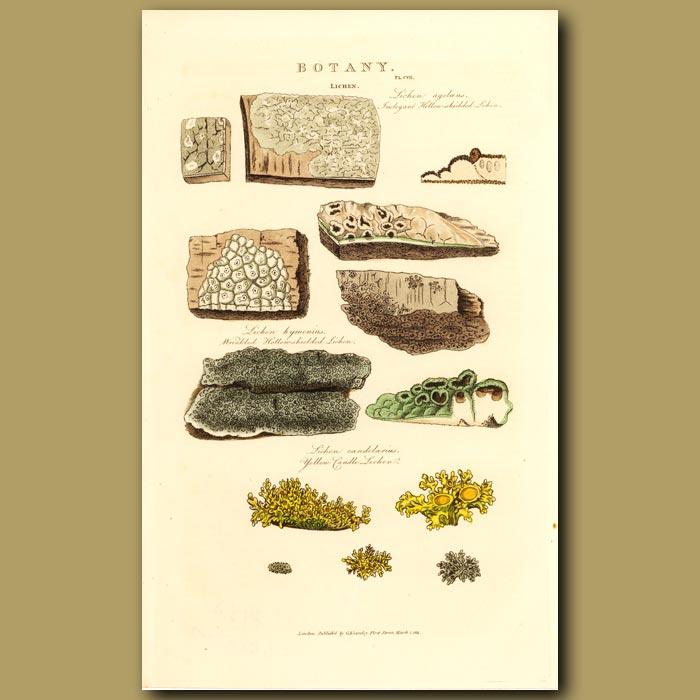 Antique print. Lichens