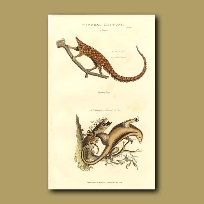 Antique print. Long-tailed Manis and Two-toed Anteater