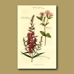 Branched Willow-Herb and Red Campion