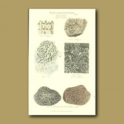 Fossil zoophytes and coral