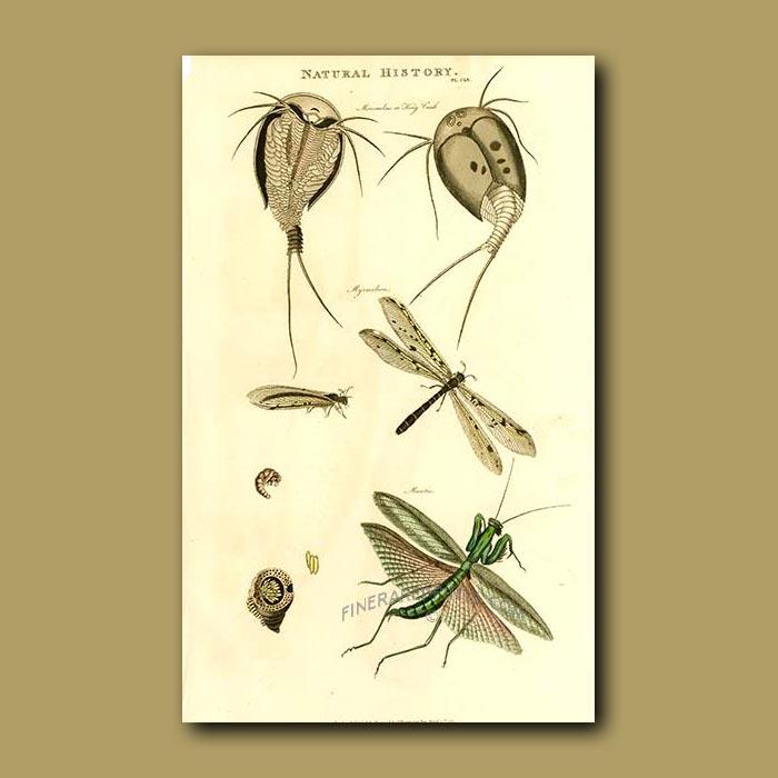 Antique print. King Crab and Praying Mantis
