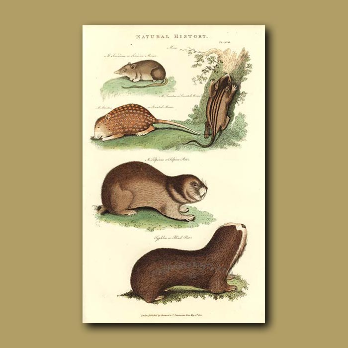 Antique print. Soricine and Striated Mouse, Talpine and Blind Rat