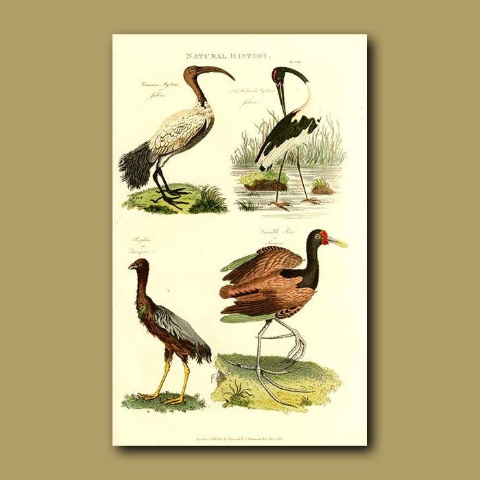 Antique print. Jabiru, Trumpeter and Jacana