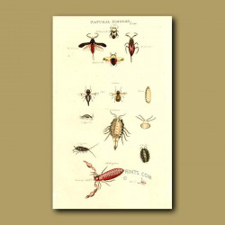 Nepa, Oestrus, Oniscus and Phalagium - Types of Gadfly