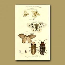 Silk-Worm Moth, Apollo Butterfly, Pierian Butterfly and Death Watch Beetle