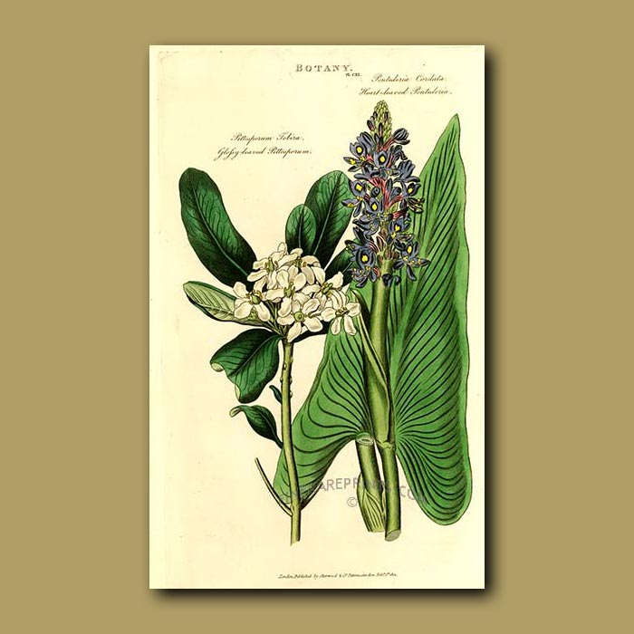 Antique print. Glossy-leaved Pittosporum and Heart-leaved Pontederia