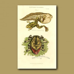 Paradoxical Frog and Horned Toad
