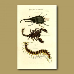 Hercules Beetle, Scorpion and Scolopendra
