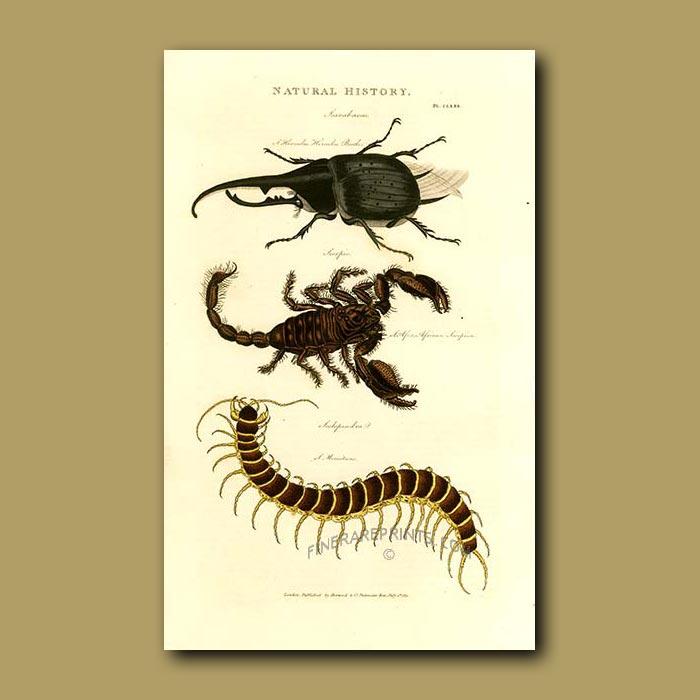 Antique print. Hercules Beetle, Scorpion and Scolopendra