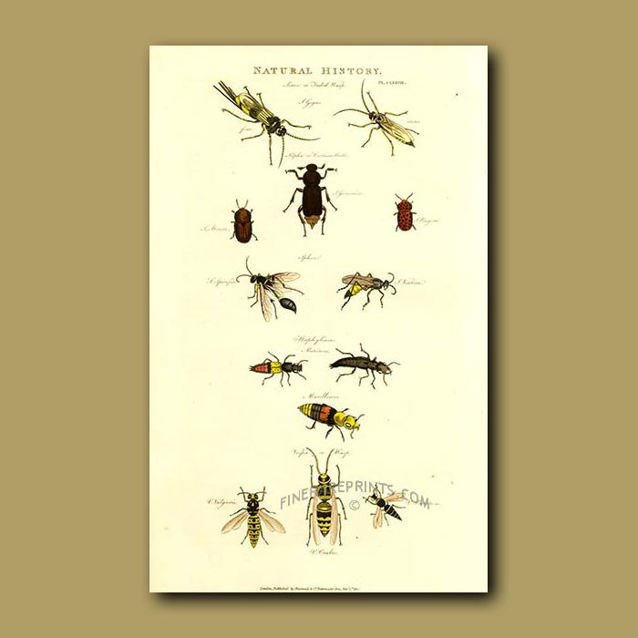 Antique print. Various Wasps including Sirex Gigas and Vespa species, Carrion Beetle, Staphylinus