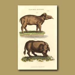 Tapir and Sukotyro