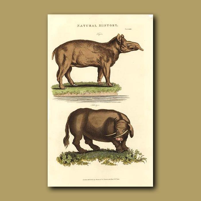 Antique print. Tapir and Sukotyro