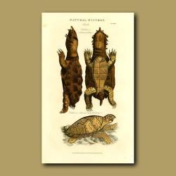 Fimbriated Tortoise and Hawks Bill Turtle