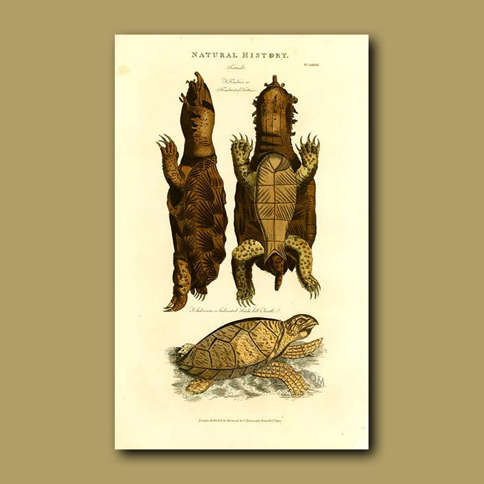 Antique print. Fimbriated Tortoise and Hawks Bill Turtle