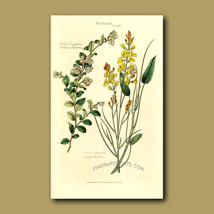 Antique print. Thick-leaved Blueberry or Whortle-berry and Rush Broom