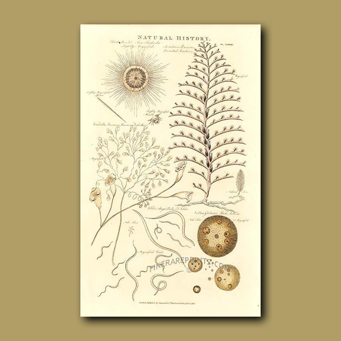 Antique print. Coral, Plankton and Diatoms