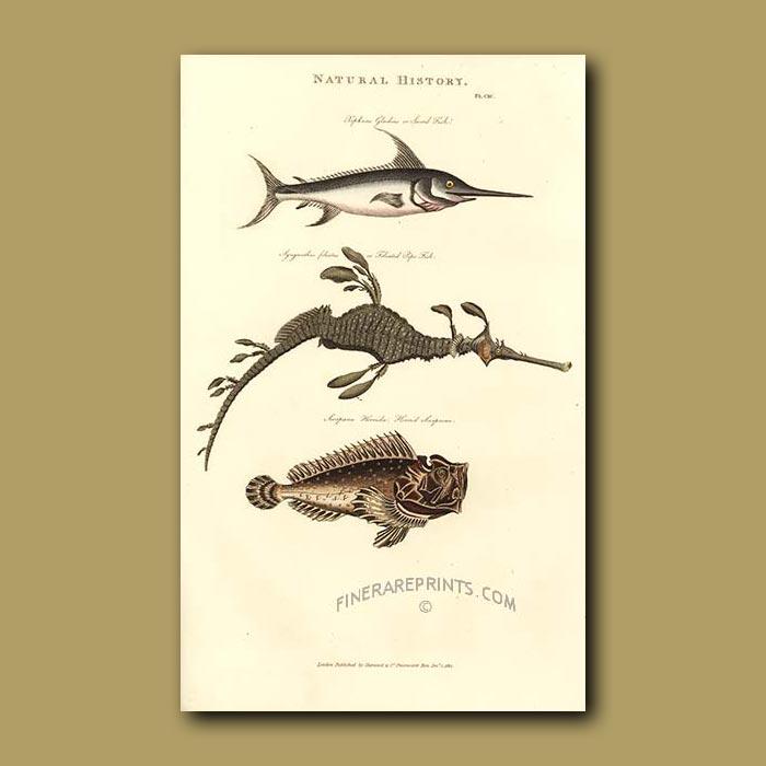 Antique print. Sword Fish, Foliated Pipe-Fish and Horrid Scorpion Fish