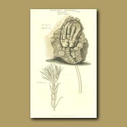 Fossil Lily encrinite