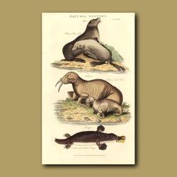 Platypus, Walrus and Ursine Seal