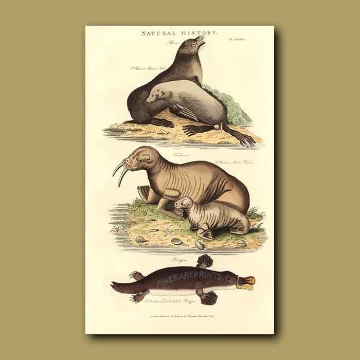Antique print. Platypus, Walrus and Ursine Seal