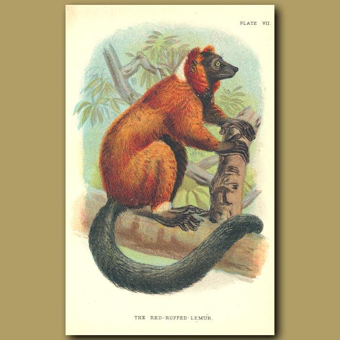 Antique print. Red-ruffed Lemur