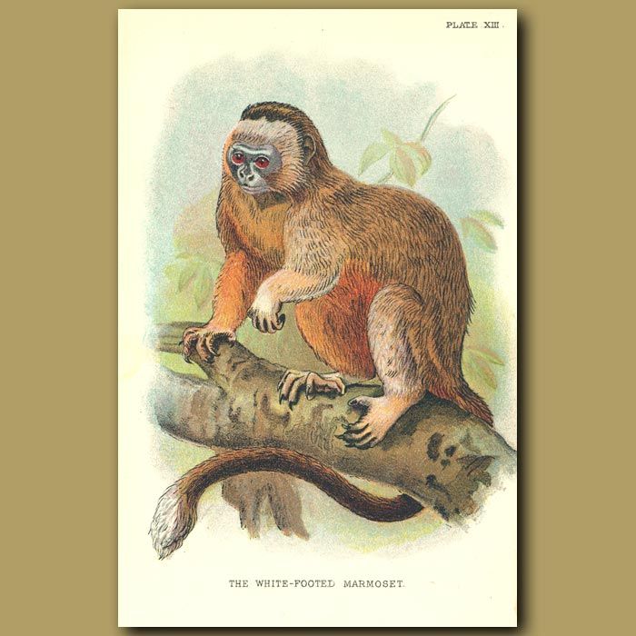 Antique print. White Footed Marmoset