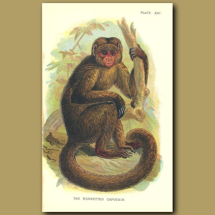Antique print. Bonnetted Capuchin