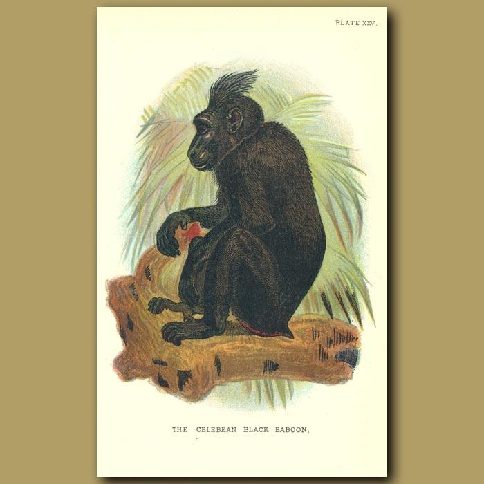 Antique print. Celebean Black Baboon
