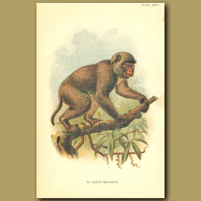 Antique print. St Johns Macaque